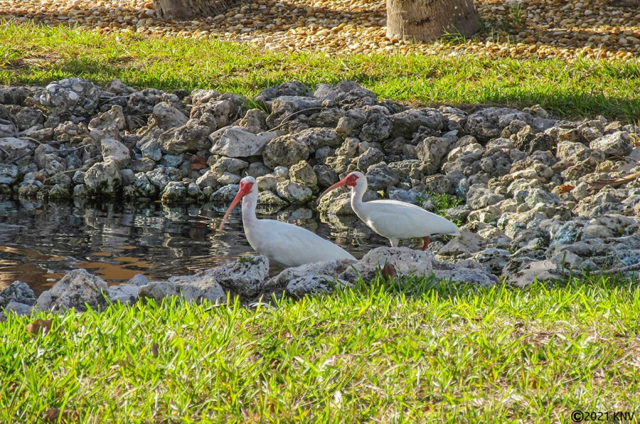 Tropical Landscaping At Harbour Pointe South attracts local ibis