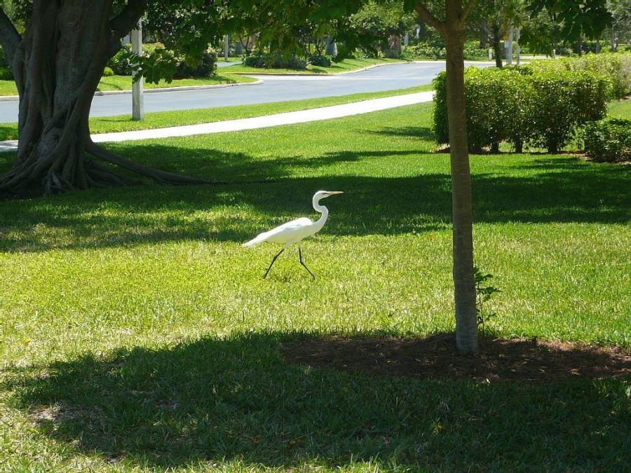 Egrets and Herons come to visit the Lake at Bella Lago